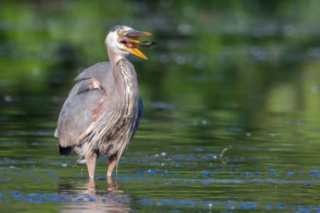 bluegill: Great Blue Heron eating a fish he just caught in soft focus