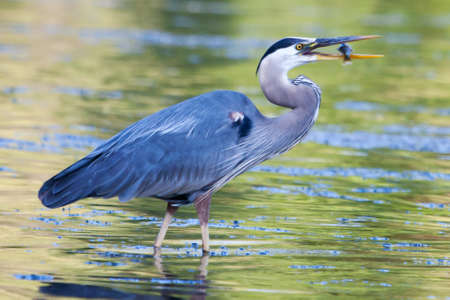 bluegill: Great Blue Heron catches a small bluegill in soft focus