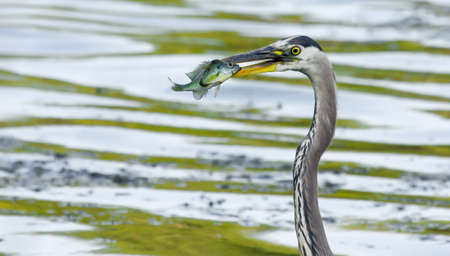 bluegill: Bluegill gets Caught by a Great Blue Heron in soft focus