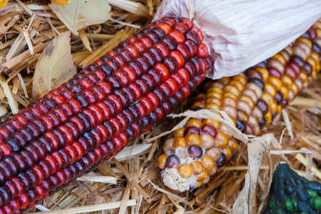 Close up shot of a freshly plucked Indian corn.