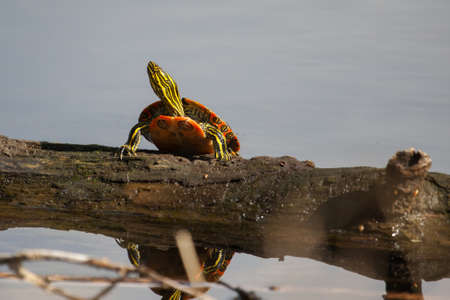 sunning: Two Painted Turtle Sunning on a log