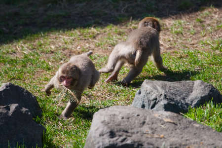 Two Macaque Monkeys playing and chasing each other