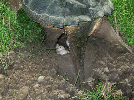 common snapping turtle, chelydra s. serpentina, laying eggs photo