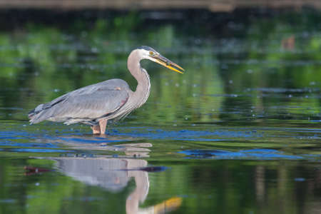 bluegill: Great Blue Heron fishing in the low lake waters.
