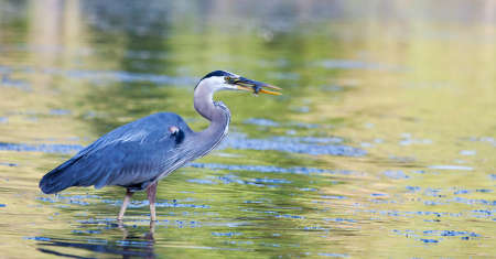 bluegill: Great Blue Heron catches a small bluegill