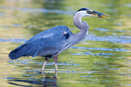 Great Blue Heron catches a small bluegill
