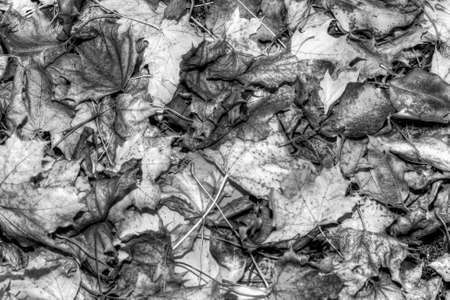 Autumn Leaves HDR High Dynamic Range in b&W