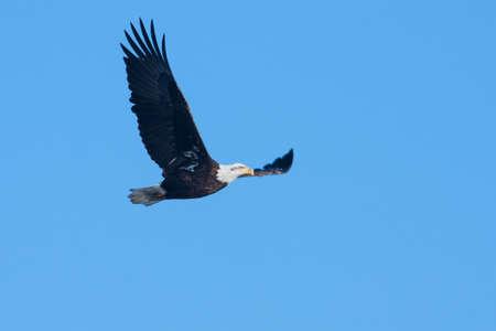 aguila volando: Una imagen de un águila calva americana en vuelo.