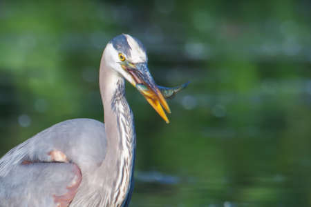 bluegill: Great Blue Heron fishing in the low lake waters in soft focus