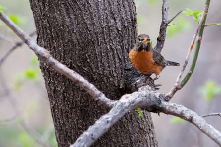 American Robin perched in a tree looking attentive.