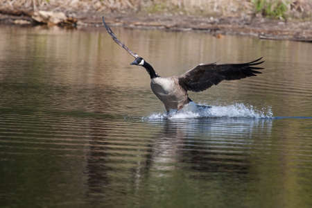 Canadian geese landing in the water on a lake photo