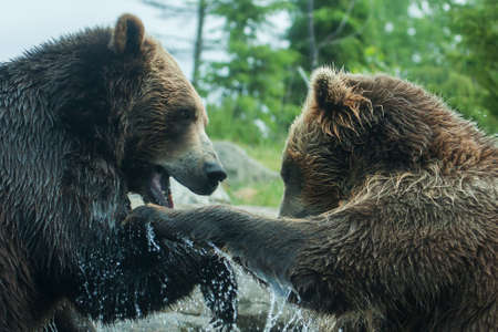 animosity: Two Grizzly (Brown) Bears Fighting or playing Stock Photo