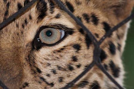ata: Amur Leopard looking through a fence ata zoo Stock Photo