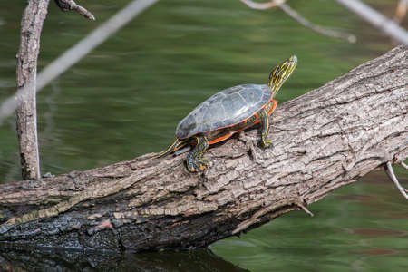 sunning: Two Painted Turtle Sunning on a log.