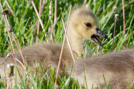 gosling: Canadian Goose Gosling resting in the grass