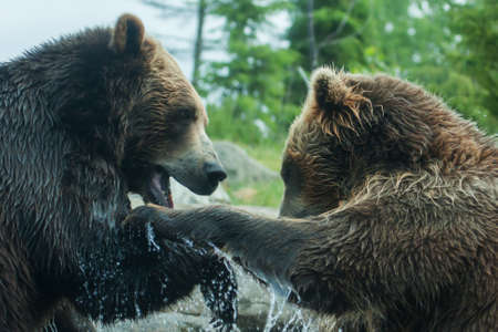 Two Grizzly (Brown) Bears Fighting or playing soft focus