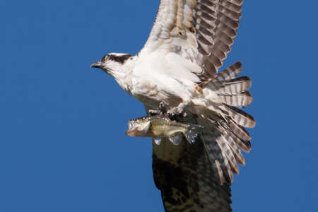 talons: Soaring osprey carrying a bass in its talons  Stock Photo