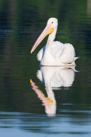 White Pelican (Pelecanus erythrorhynchos) swimming in a lake Stock Photo