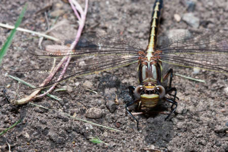 darter: Common Darter Dragonfly standing on the ground