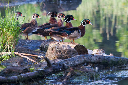 Colorful male Wood Duck, standing on a log photo