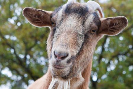 Close up de una cabra de Billy curioso.  Foto de archivo