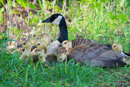 lake winnipeg: Canadian Goose sitting nesting with her goslings next to a lake
