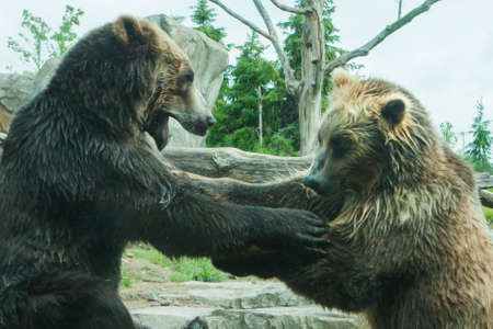 animosity: Two Grizzly (Brown) Bears Fighting and playing