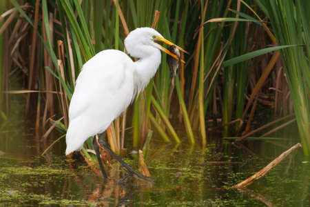 Great White Egret Catching a large fish