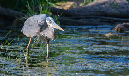 bluegill: Great Blue Heron fishing in the low lake waters