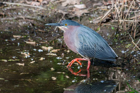 Green Heron (Butorides virescens virescens) fishing for a meal. photo