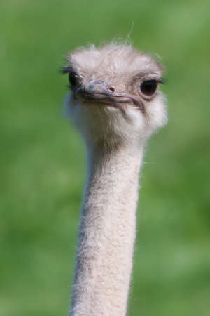 mirthful: Happy ostrich walking around at the zoo in soft focus. Stock Photo