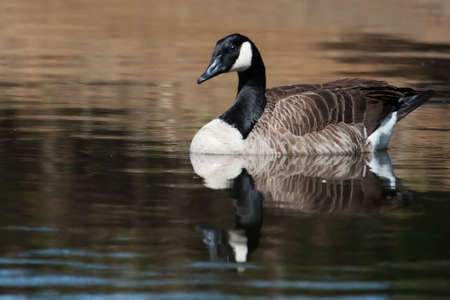Canadian Goose swimming in a small pond. photo