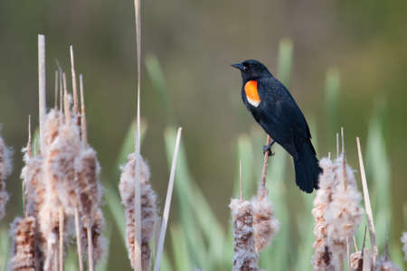 Male Red-winged Blackbird balances on a cat-tail photo