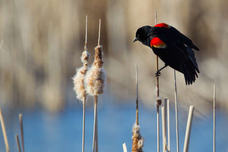 Male Red-winged Blackbird perched on cattails. photo