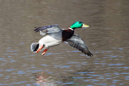 Mallard in flight with trees in the background. photo