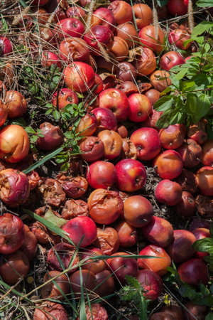 putrefied: Rotten apples piled up on the ground by a tree. Stock Photo
