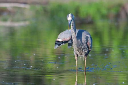 bluegill: Great Blue Heron fishing in the low lake waters.