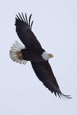 calvo: Águila calva americana que vuelan a detectar algunos peces.