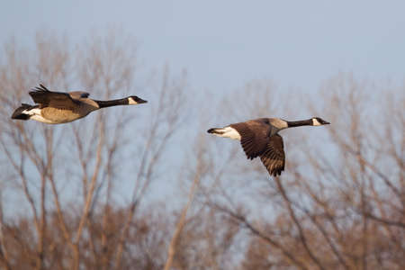 canadian geese: Two Canadian Geese Flying low in formation.