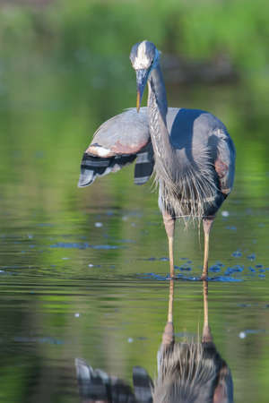 Great Blue Heron fishing in the low lake waters. photo
