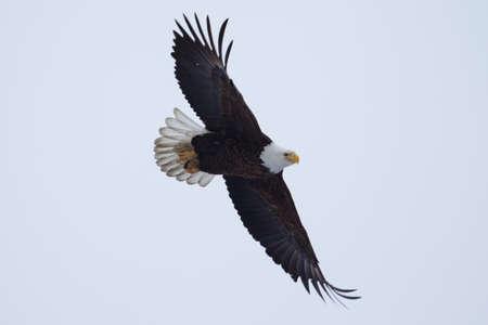 Águila calva americana que vuelan a detectar algunos peces.