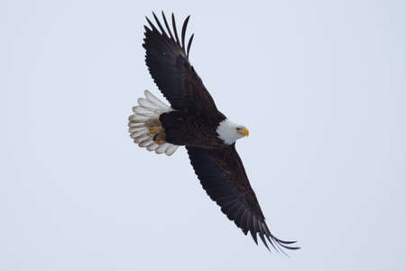 American Bald Eagle flying to spot some fish.