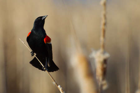 red winged: Male Red-winged Blackbird perched on cattails.