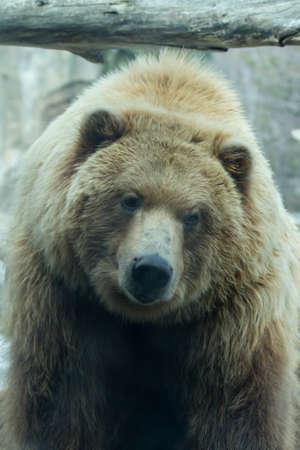 taking a break: Brown Bear taking a break from its playing