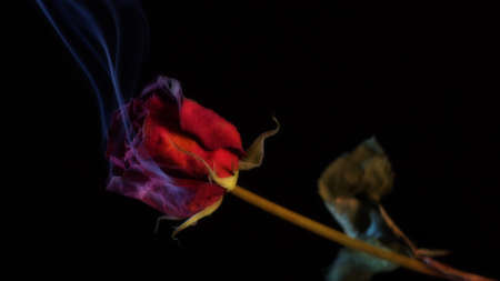 burning love: Smoking Red Rose, un simbolo di un amore ardente, o uno che � bruciata.