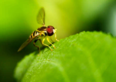 hover: Macro shot of a hover fly on a leaf in soft focus Stock Photo