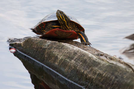 sunning: Painted Turtle Sunning itself on a log