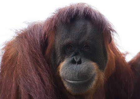 utang: Orangutan looks over the crowd at the local zoo. Stock Photo