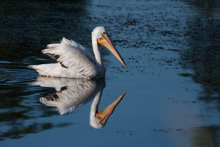 White Pelican (Pelecanus erythrorhynchos) swimming in a lake Imagens