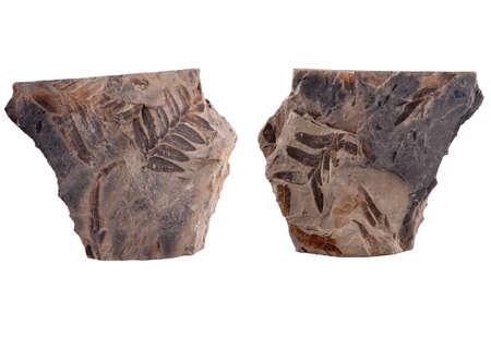 Fossilized seed fern leaf Stock Photo